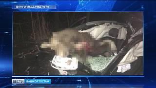 Выскочивший на дорогу лось в Башкирии устроил аварию с пострадавшими