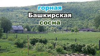 Башкирский лес горная сосна почему не мокнет под дождем? Мелеуз Салават Ишимбай Уфа Оренбург брус