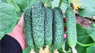 Сорта огурцов для посадки в теплице