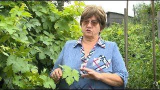 """""""Удачная среда"""" - спасаем виноград от грибкового заболевания милдью (Бийское телевидение)"""