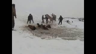В Башкирии спасли лошадей, провалившихся под лед