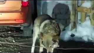 Волки идут из Казахстана