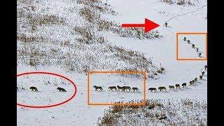 Вот почему волки так идут! Это фото несет послание, которое уже покорило полмира