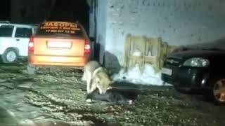 Волки в Башкирии