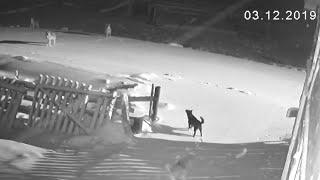 Шесть волков загрызли двух собак ???? TV29.RU (Нёнокса)